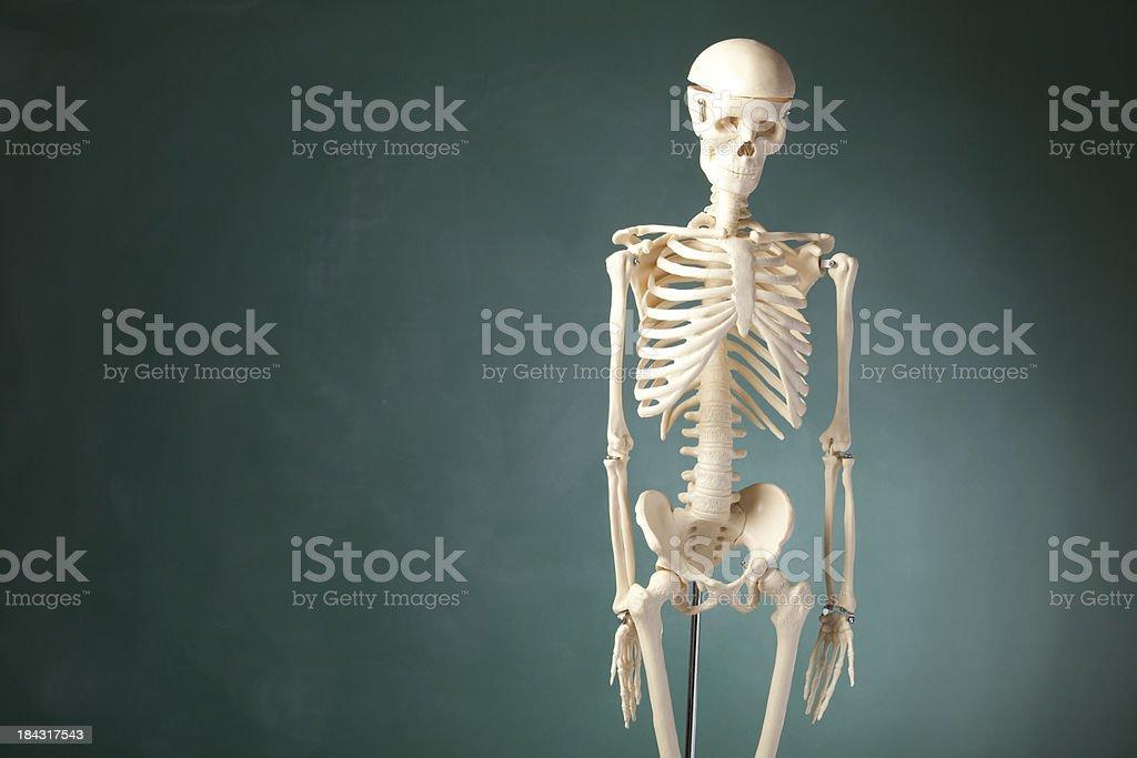 The human skeleton model before blackboard royalty-free stock photo