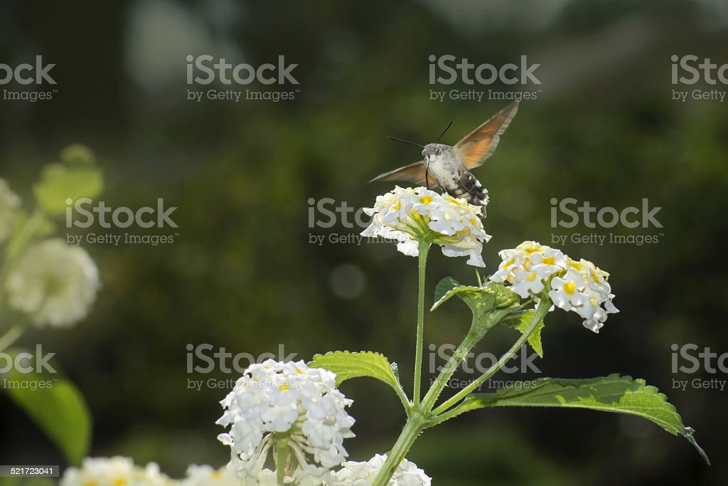 The Hummingbird Hawkmoths (Macroglossum stellaturum) stock photo