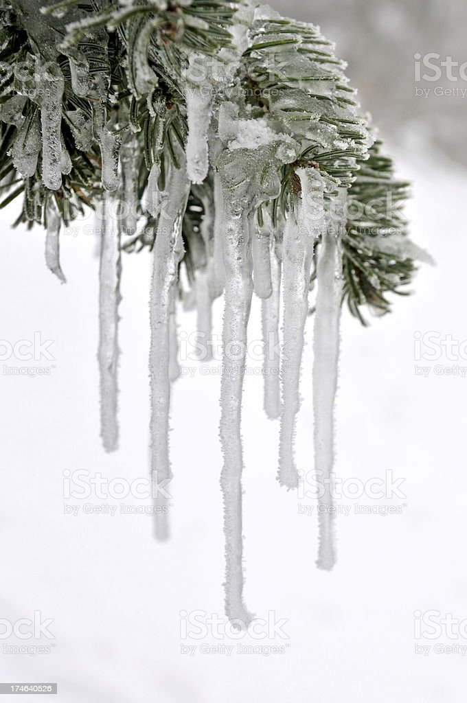 the ice is hanging than pine tree royalty-free stock photo