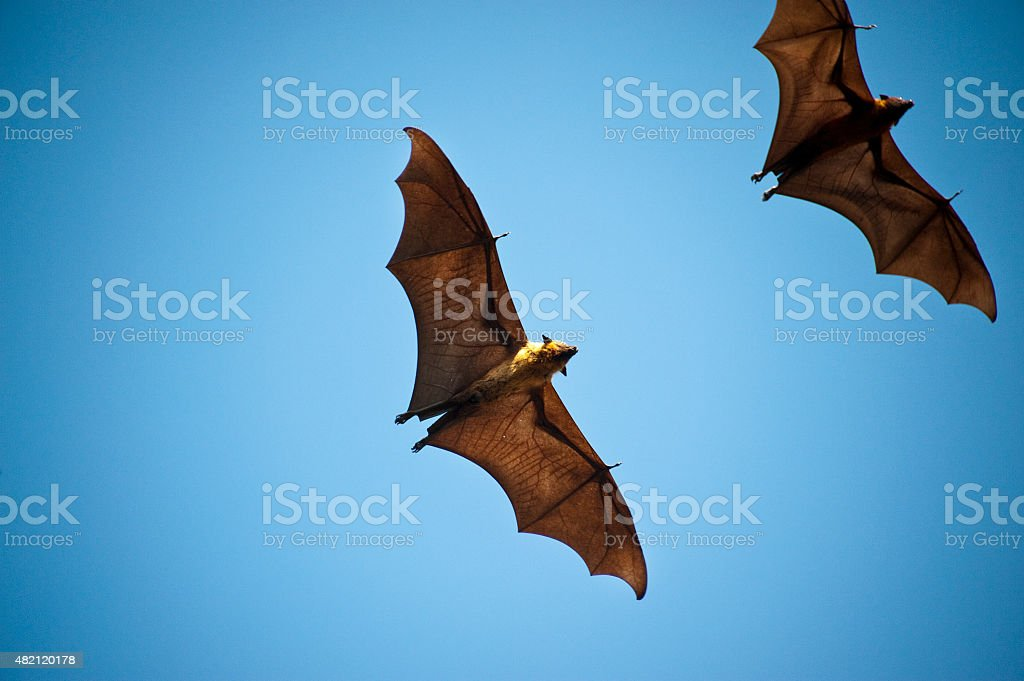 The Indian flying fox stock photo