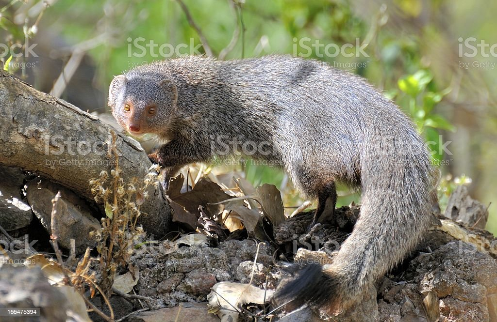 The Indian gray mongoose stock photo