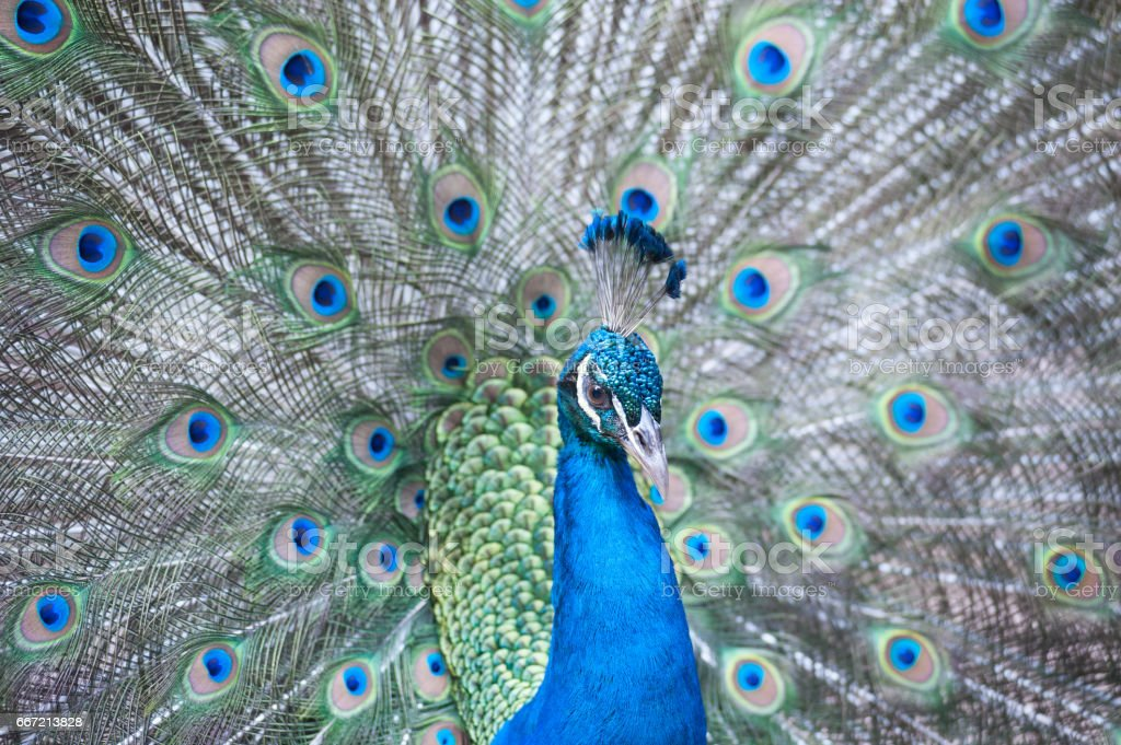 The Indian peafowl or blue peafowl. stock photo