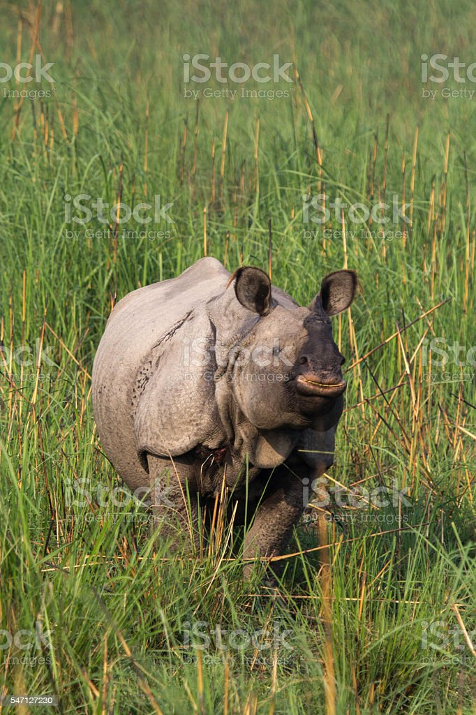 The Indian rhinoceros stock photo