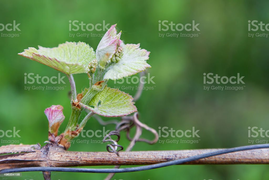 The inflorescence of grapes stock photo
