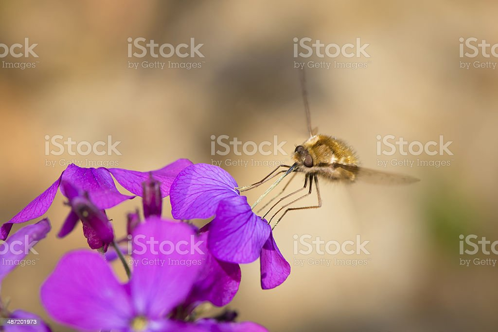 The insect collects pollen from flowers stock photo
