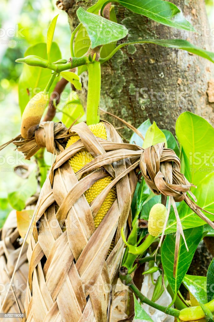 The Jackfruit And Leaf Basket stock photo