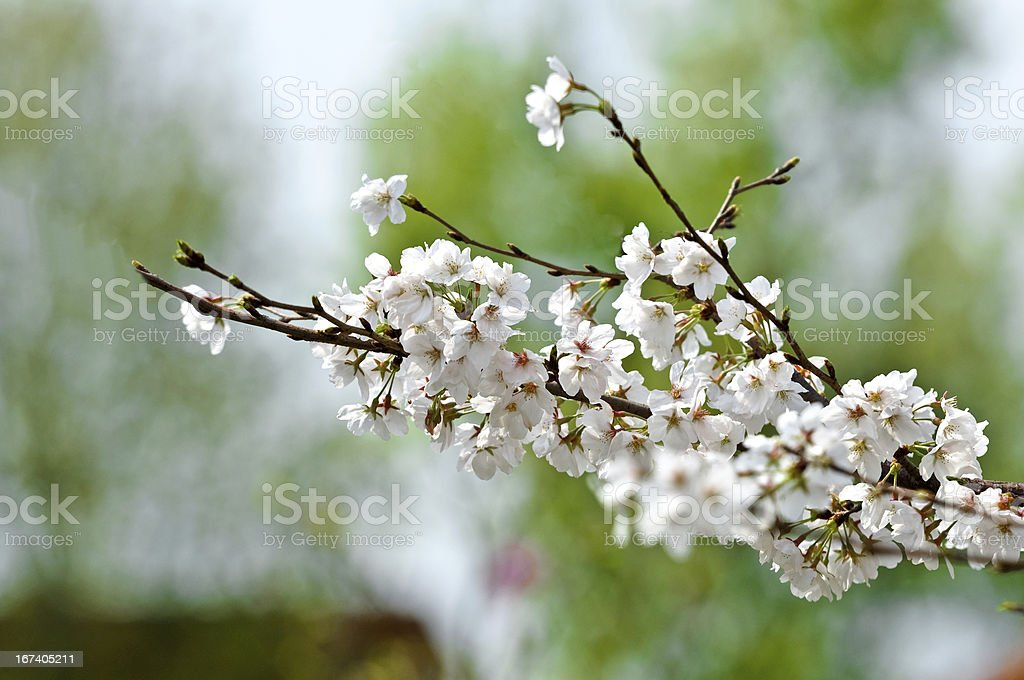 The Japanese cherry blossoms in spring royalty-free stock photo