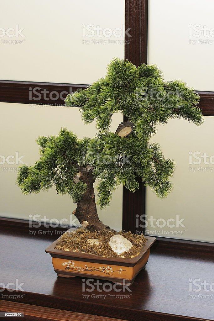 The Japanese dwarfish pine stock photo