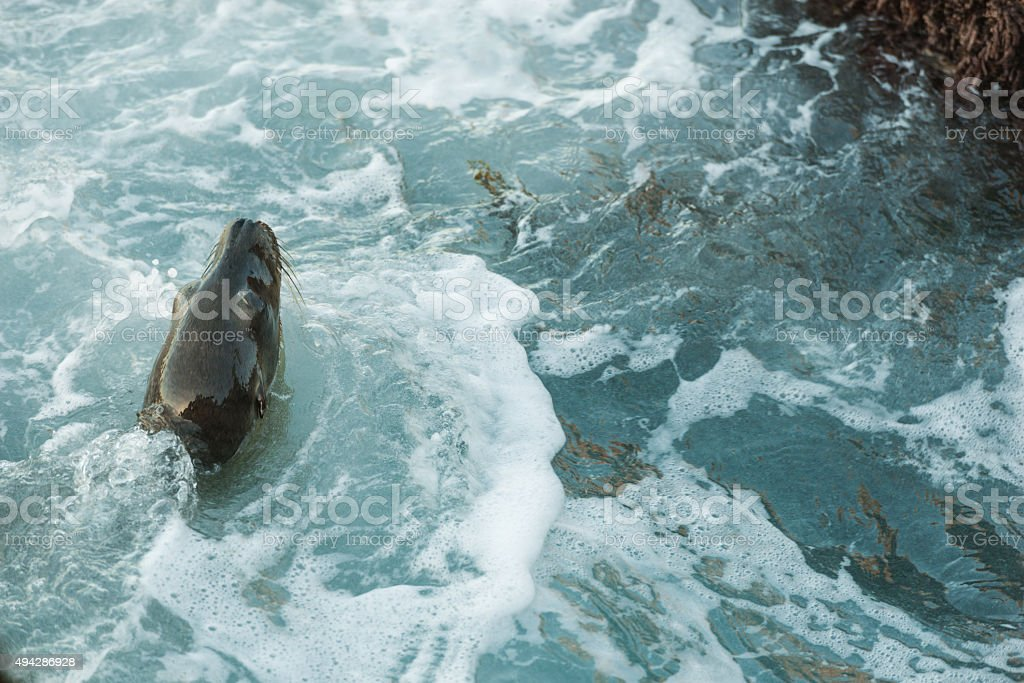 La Jolla Sea Lion stock photo