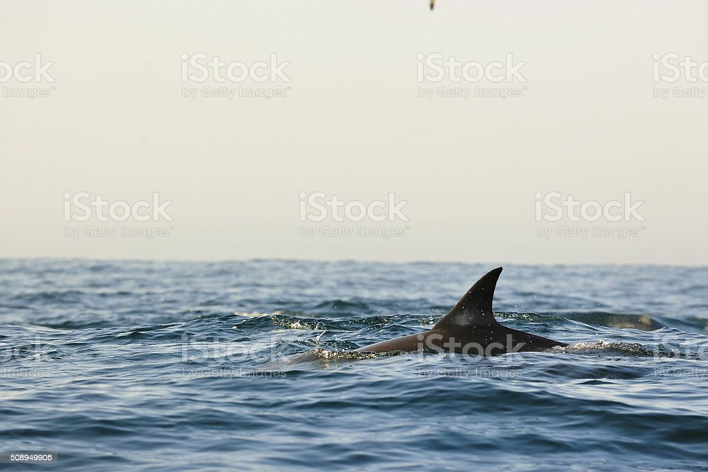 The jumping dolphin comes up from water. stock photo