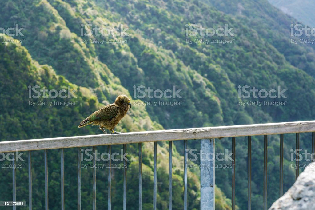 The kea is a large parrot found in forest and alpine regions of the South Island of New Zealand , walking on the fence , greeting tourists at the Otira Viaduct lookout , Arthur's Pass National Park stock photo