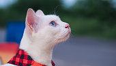 The Khao Manee cat, Diamond eye cat.