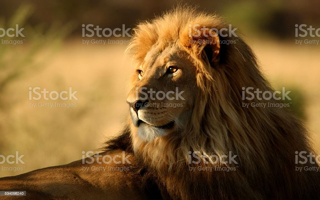 The King of the Jungle stock photo