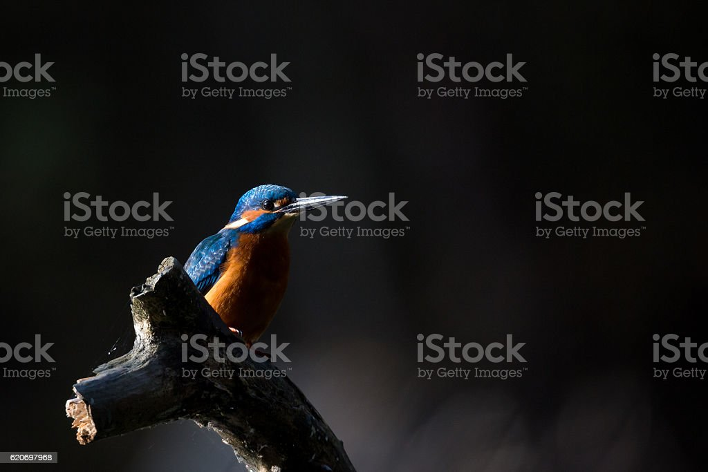The Kingfisher enjoy sunlight and catching fish stock photo