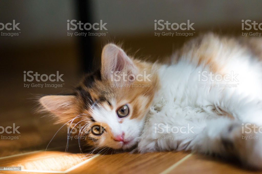 The kitten is lying on the floor and catches sunbeams stock photo