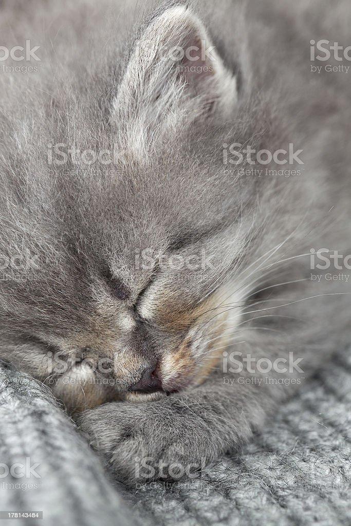 The kitten sleeps royalty-free stock photo