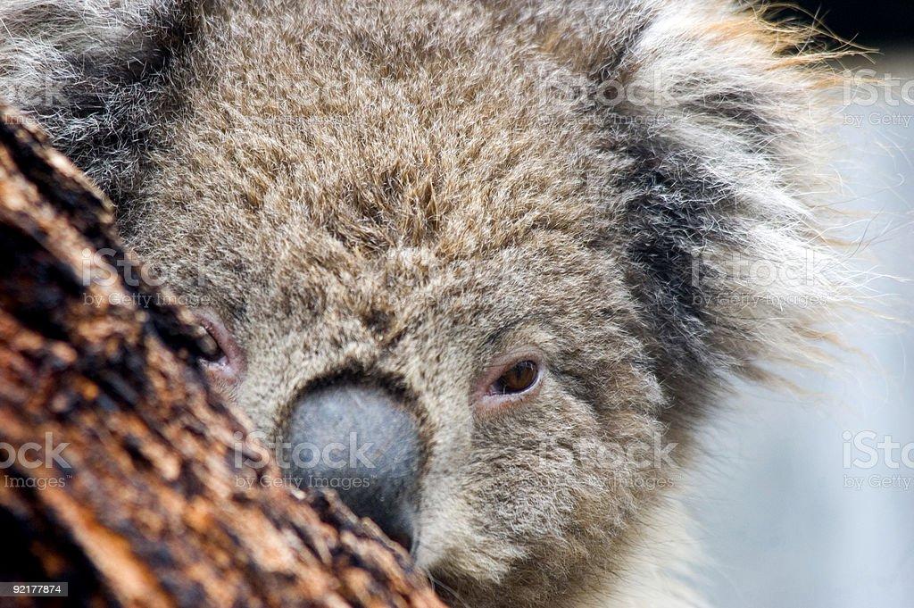 The Koala Bear royalty-free stock photo