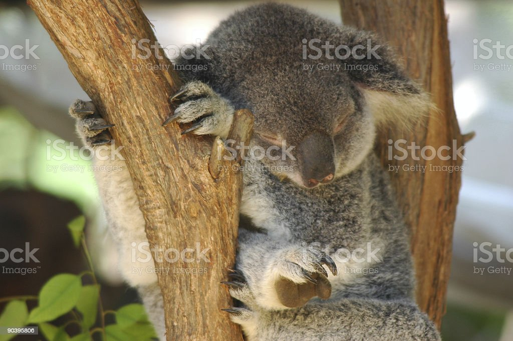 The Koala royalty-free stock photo