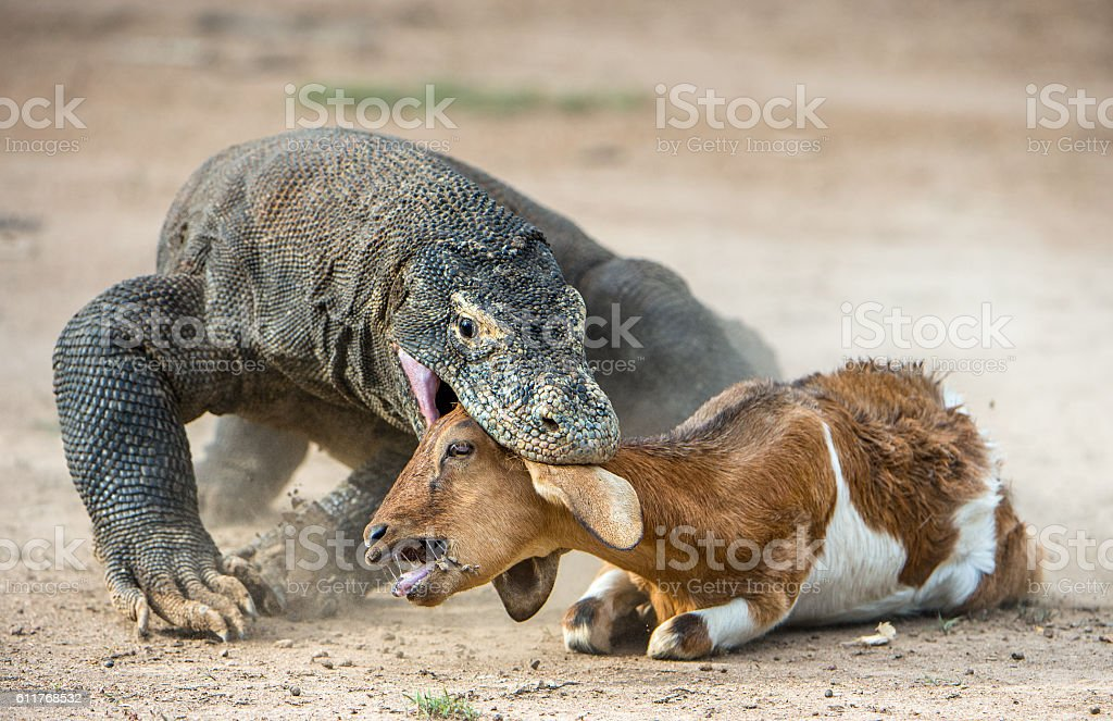 The Komodo dragon and the prey. stock photo