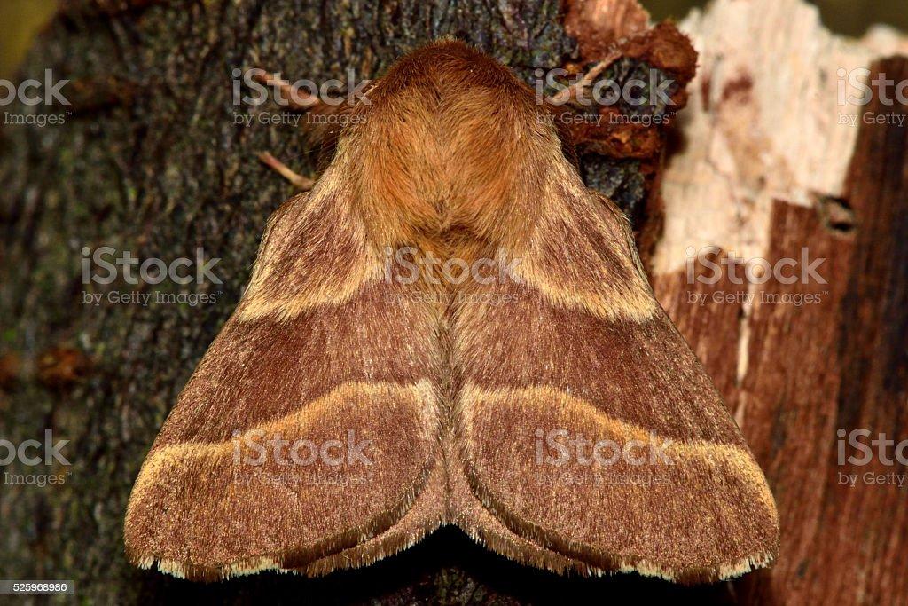 The lackey moth (Malacosoma neustria) from above stock photo
