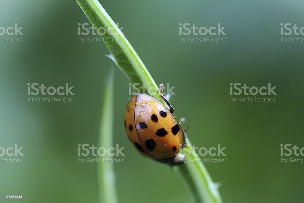 the ladybird royalty-free stock photo