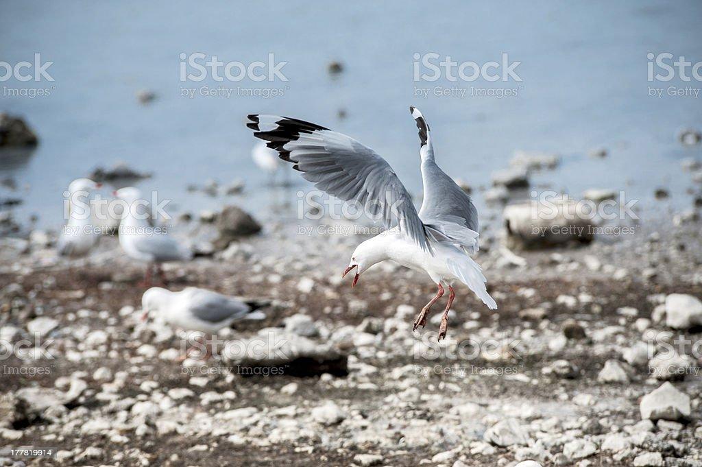 The landing seagull stock photo