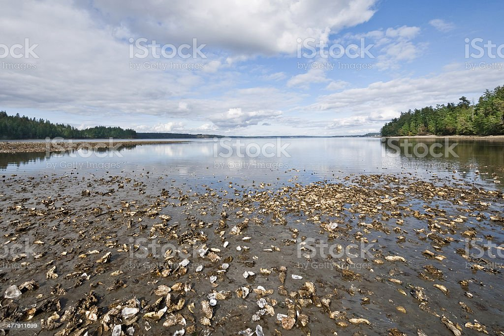 Oyster Bed on Puget Sound stock photo