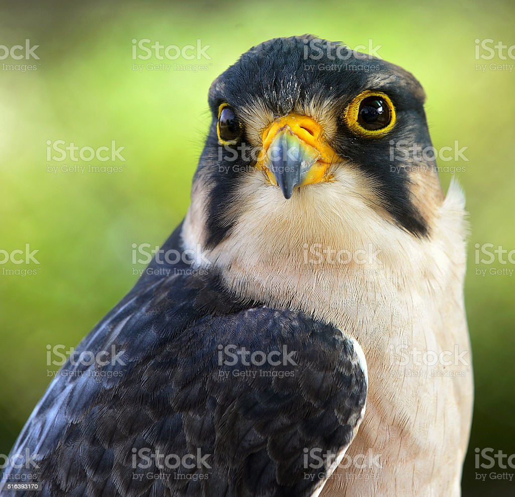 The lanner falcon stock photo