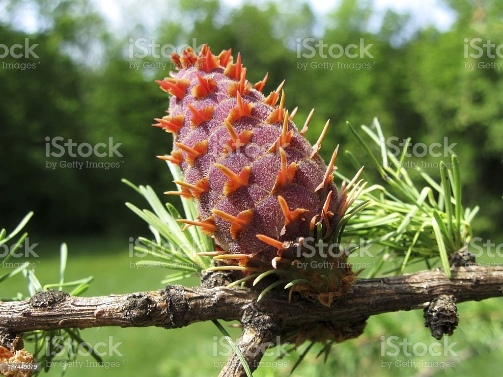 The Larch stock photo