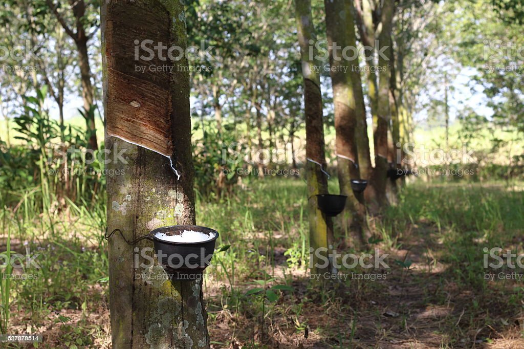 The large, lush plantations began to scream. stock photo