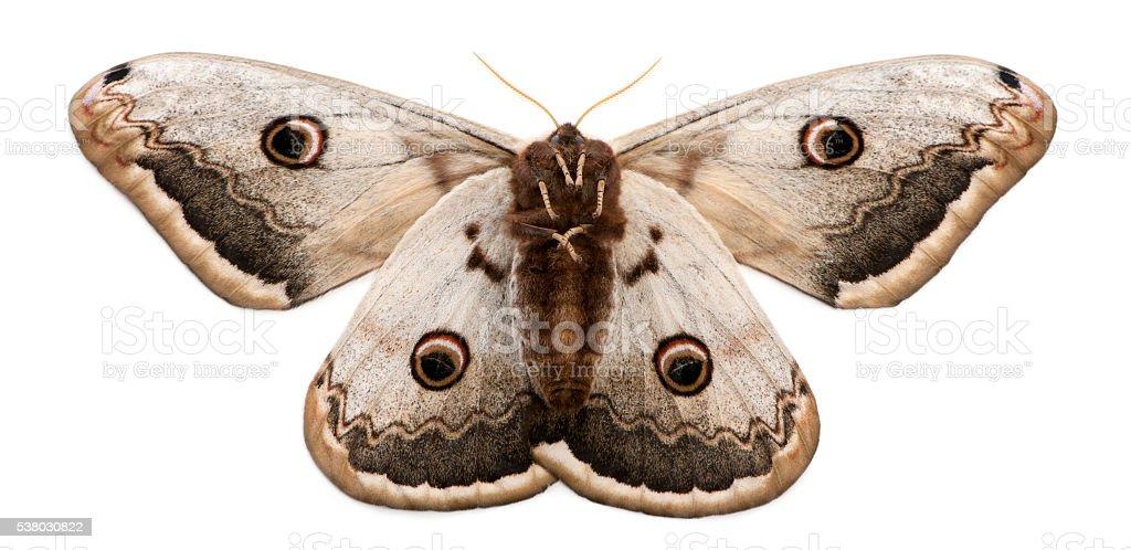 The largest European Moth, the Giant Peacock Moth, Saturnia pyri, stock photo