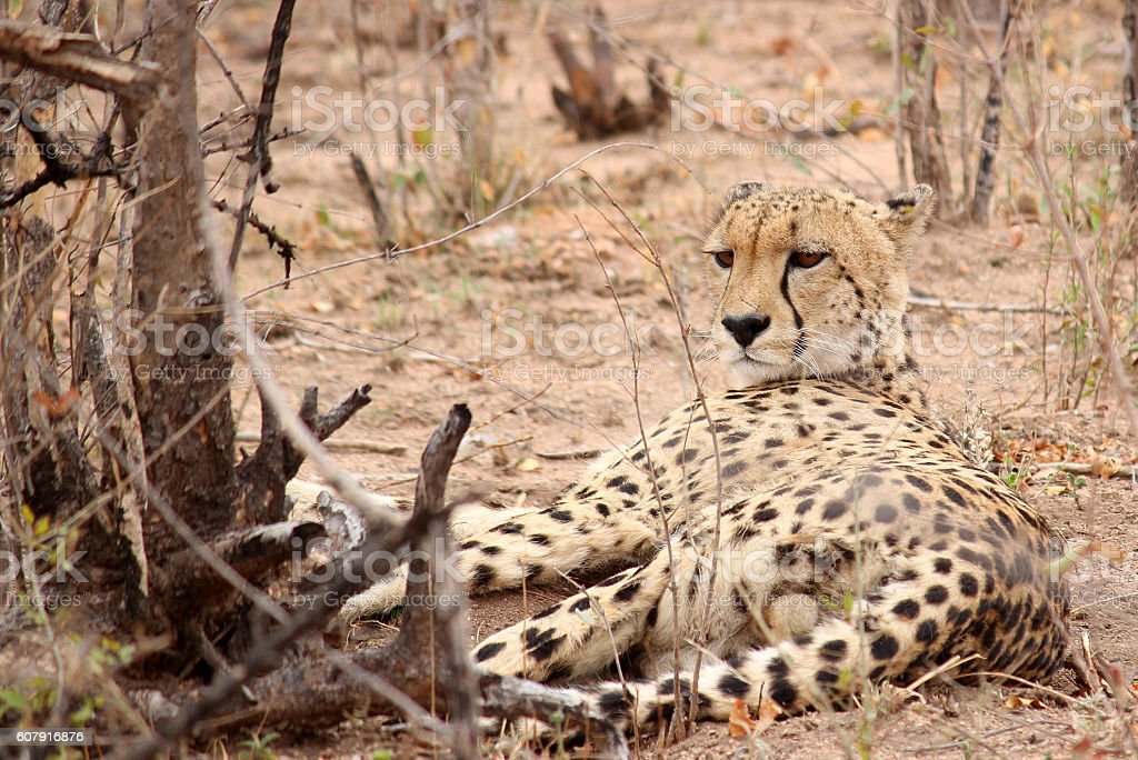 The last remaining Cheetah of Sabi Sands stock photo