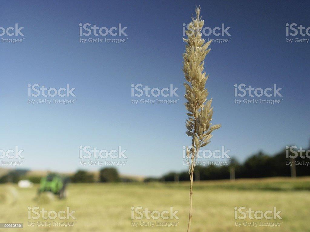 the last stalk stock photo