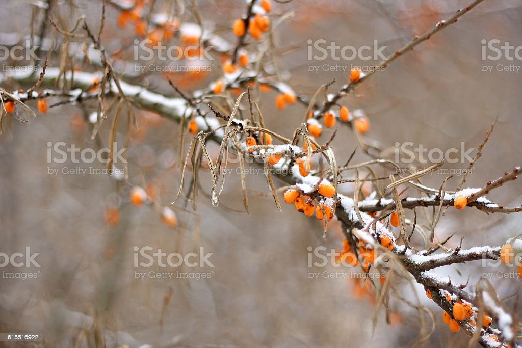 The latest sea-buckthorn berries under the snow stock photo