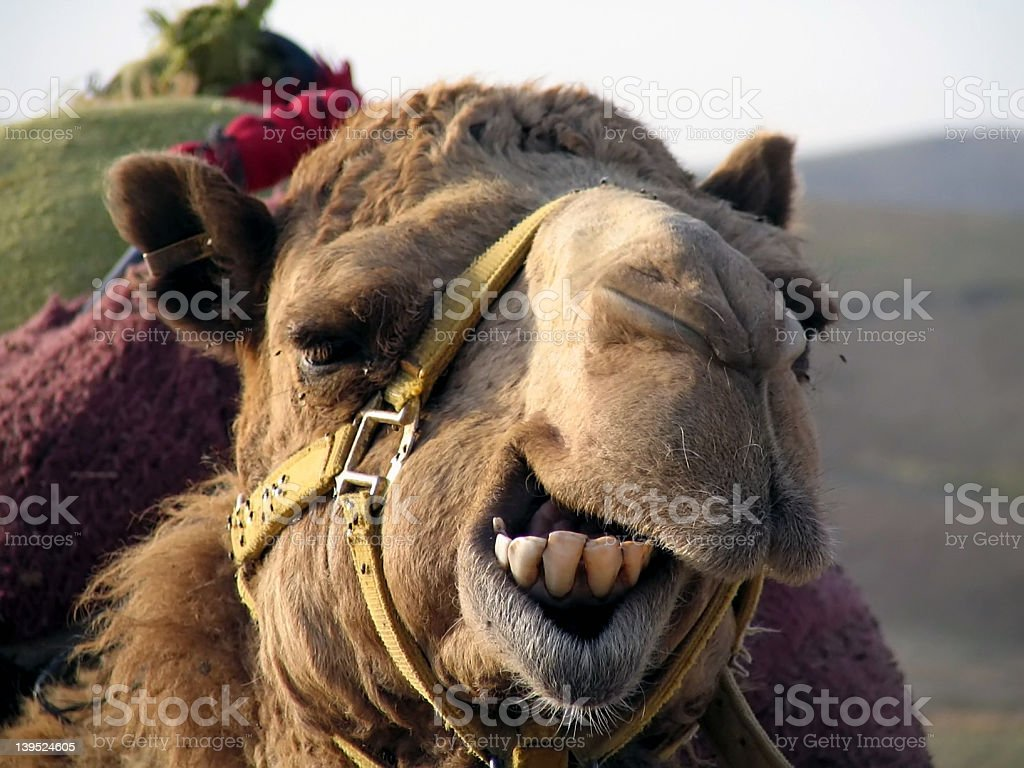 The laughing Camel royalty-free stock photo