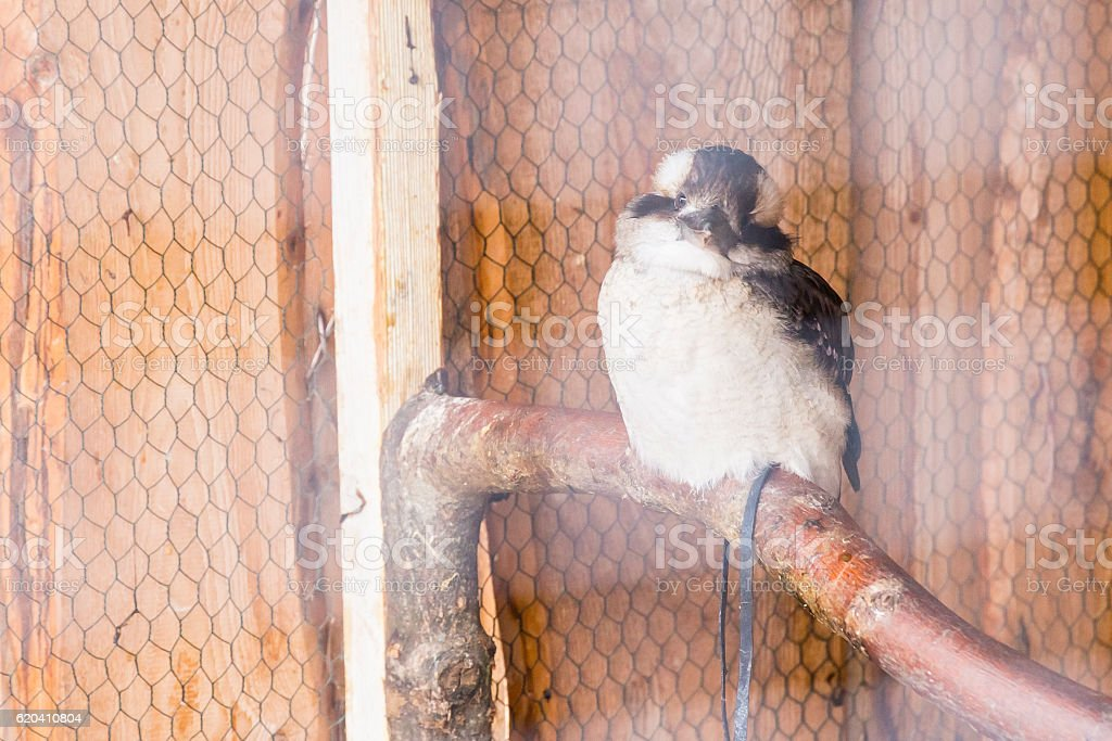 The laughing kookaburra - Dacelo novaeguineae stock photo