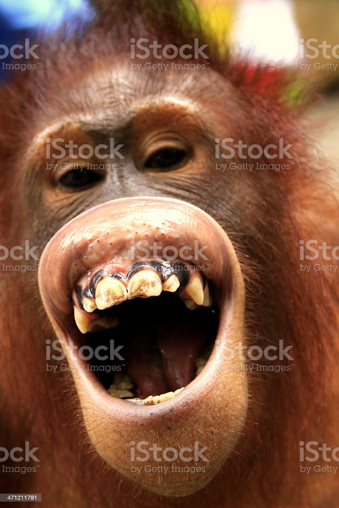 The laughing Orangutan royalty-free stock photo