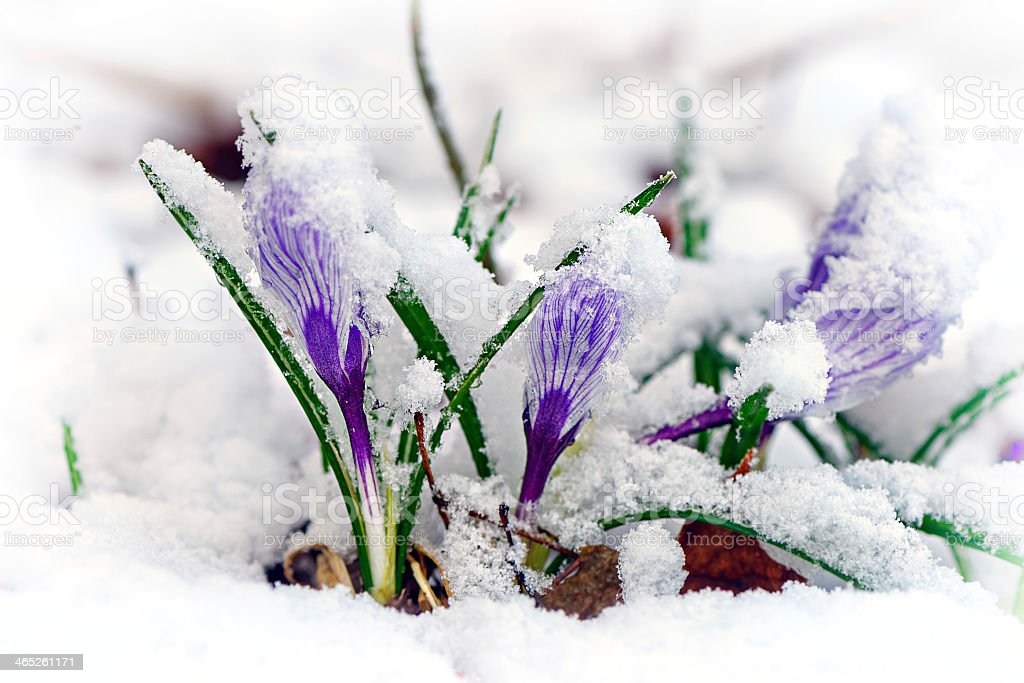 The lavender Crocuses flower blooming in the snow stock photo