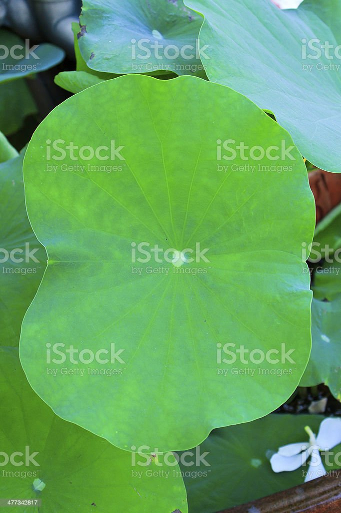 The leaf of lotus royalty-free stock photo