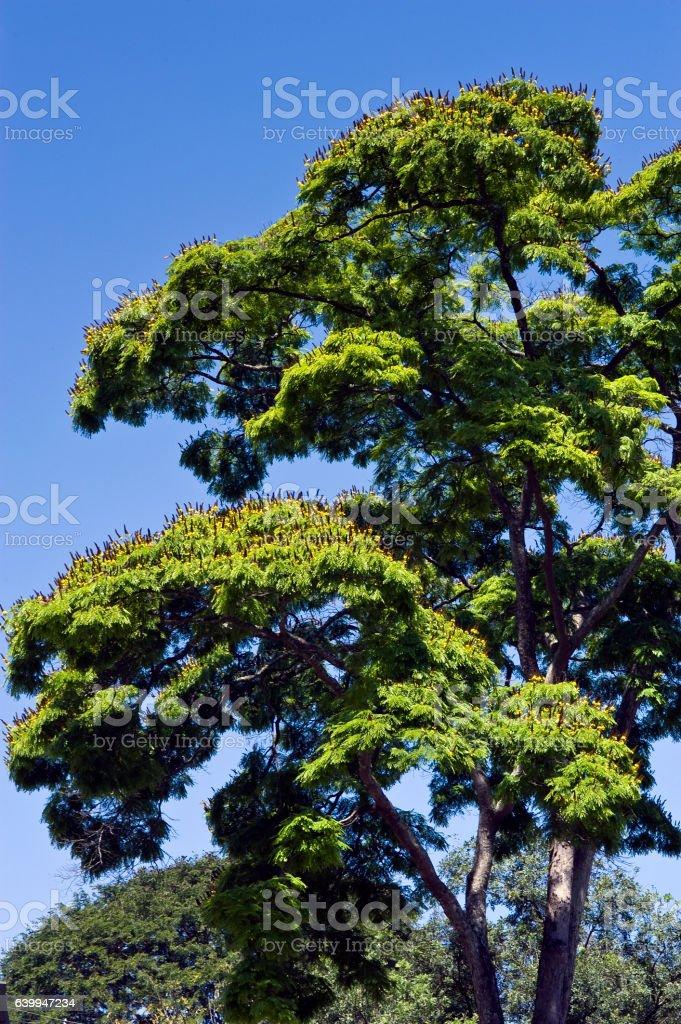 The leafy sibipiruna tree in bloom under the blue sky stock photo