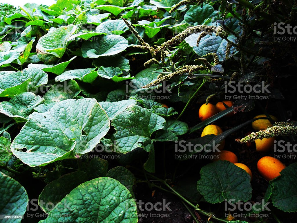 The leaves and fruits stock photo
