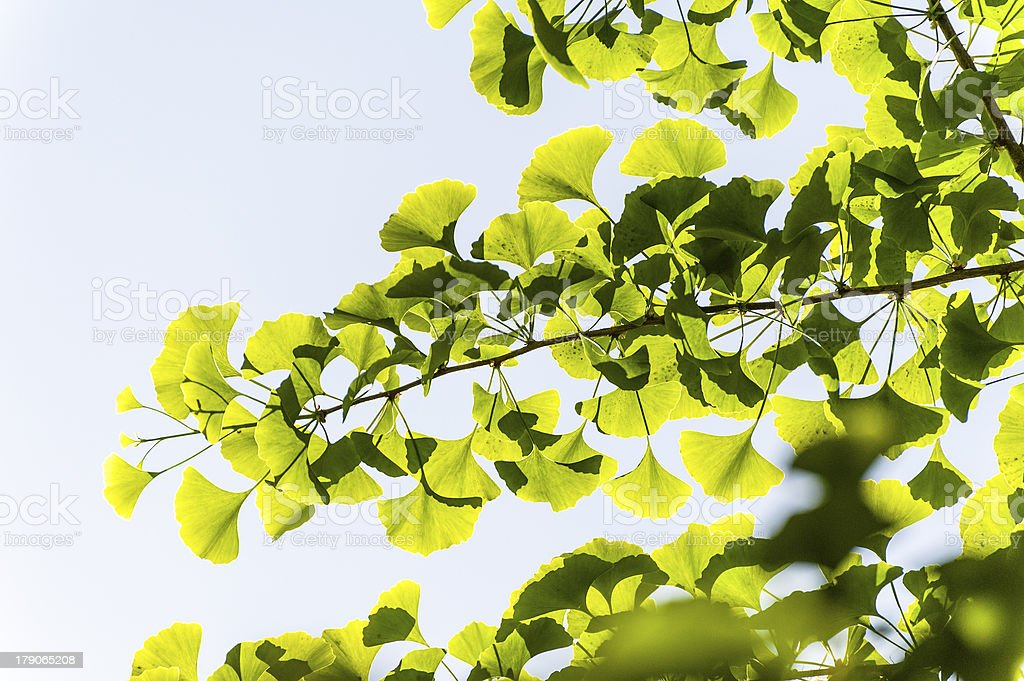 The leaves of ginko tree royalty-free stock photo