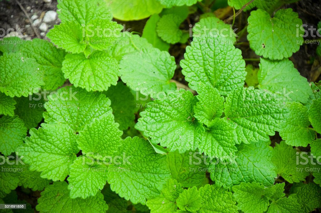 The leaves of Lamium in the garden close-up stock photo