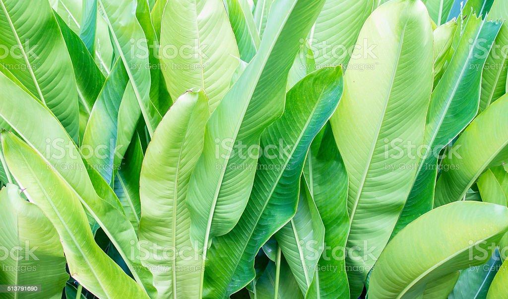 The leaves of the banana tree stock photo