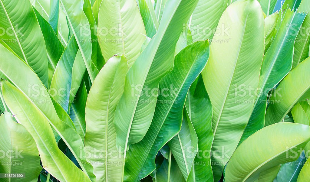 The leaves of the banana tree stock photo