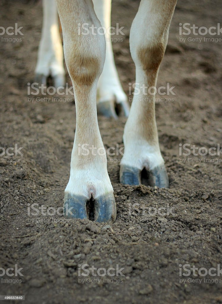 The legs of a cow standing on the ground. stock photo