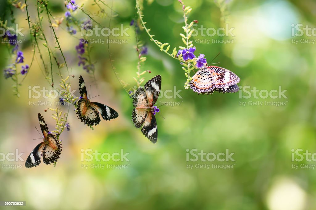 The Leopard Lacewing (Cethosia cyane) butterfly  perched on golden dew drop flower stock photo