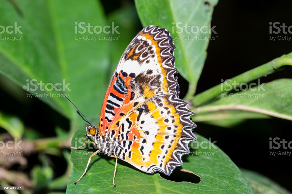 The Leopard Lacewingss Butterfly stock photo