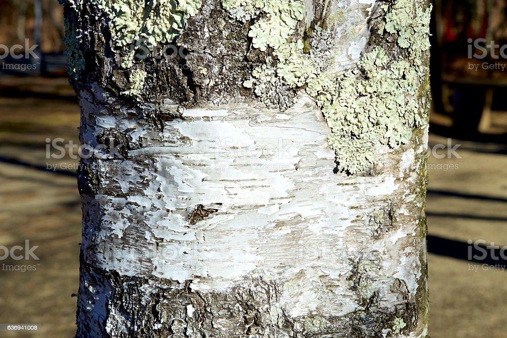 The lichen of the white birch stock photo