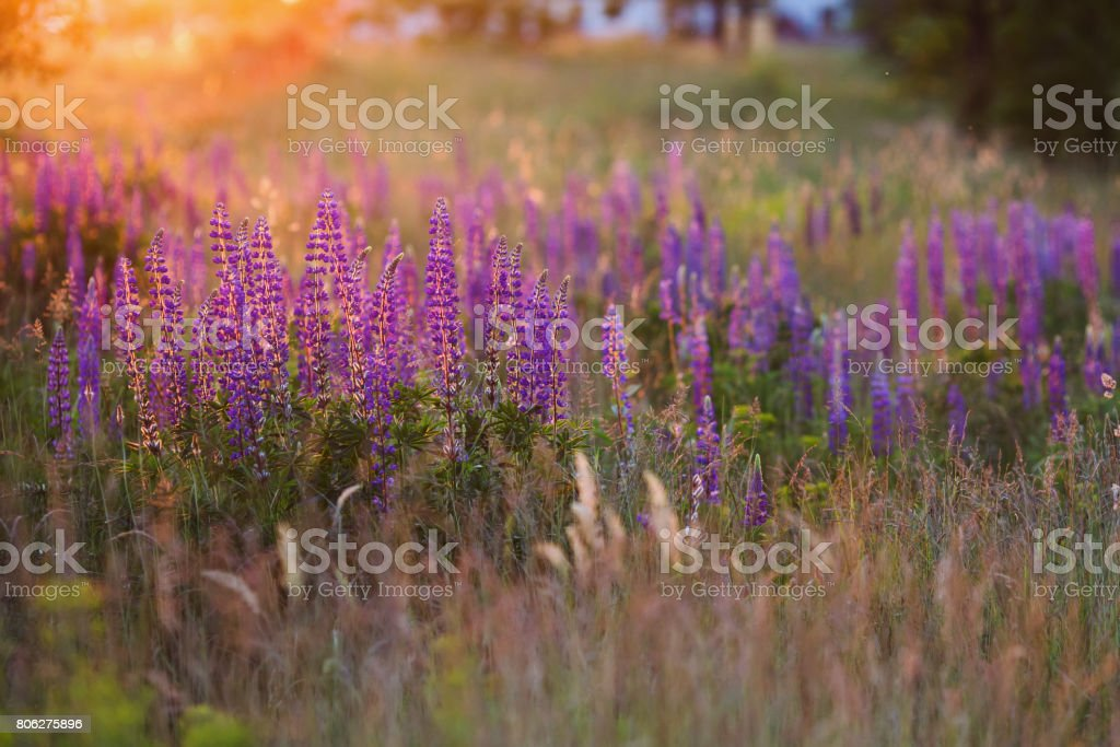 The light from the setting sun falls on blue lupines. Beautiful flowers stock photo
